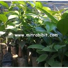 Bibit Manggis Super Di Lokasi Purworejo