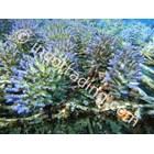 Jual Budidaya Coral