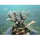 Jual Budidaya Coral 2