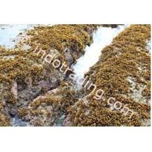 Rumput Laut Sargassum 3
