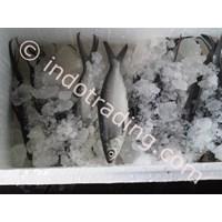 Ikan Bandeng Chanos