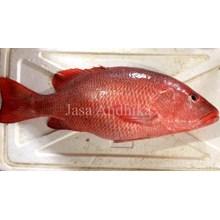 Ikan Mangrove Jack