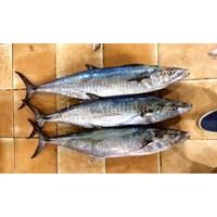 Tenggiri Batang / Spanish Mackerel
