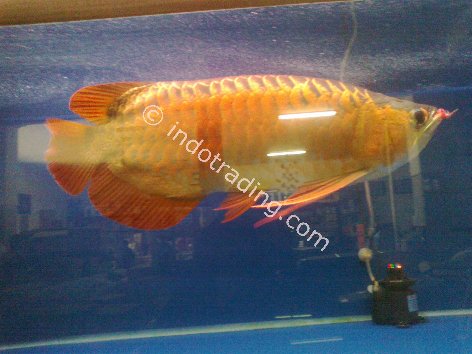 Export Live Tropical Fish Wholesale Supplier Indonesia