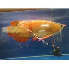 Live Tropical Fish Wholesale Supplier Indonesia