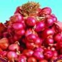 Jual Benih Bawang Merah