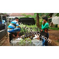 Rumput Vetiver Pencegah Longsor Tanah