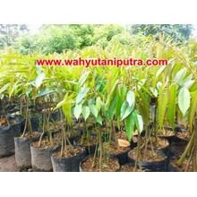 Bibit Durian Musang King Berkaki 3