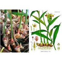 Sell Ginger Red Seed Certification Ready For Planting