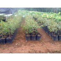 Jual Bibit Pohon Durian