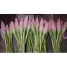 Bunga Kecombrang-Kincung-Honje-Kantan