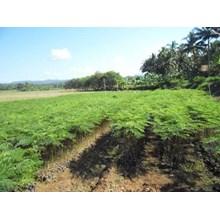 Bibit Pohon Sengon