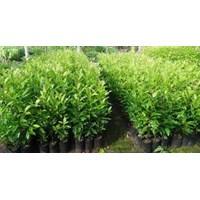 Sell Clove Tree Seedlings