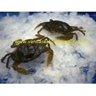 Soft Shell Crab (Kepiting Soka)