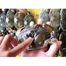 Kepiting Bakau Cangkang Lunak