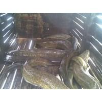 Ikan Sidat