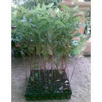 Bibit Eucaliptus Alba
