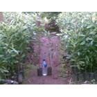 Sell Clove Seeds Zansibar