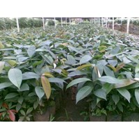 Jual We  Mangosteen Fruit Seeds
