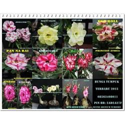 Adenium Bunga Tumpuk Baru 2015