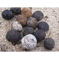 Jual Kemiri  ( Aleurites Moluccana)