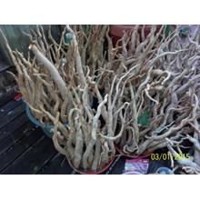 Pasak Bumi Tongkat Ali Eurycoma Longifolia