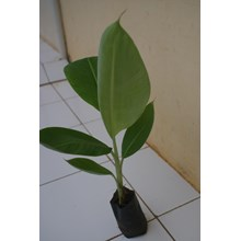 Bibit Pisang Cavendish