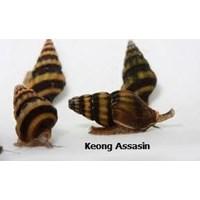 Assasin Snail Pembasmi Keong Hama