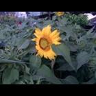 Jual Bunga Matahari- Helainthus