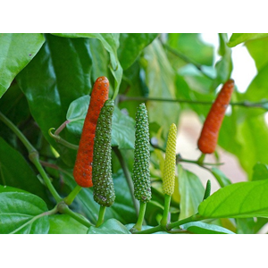 Sell Cabe Jawa From Indonesia By Pt Ika Energycheap Price