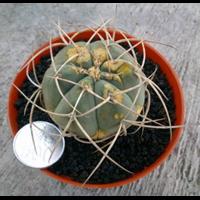 Jual Gymnocalycium Cardenasianum