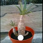 Jual Pachypodium Gracilis