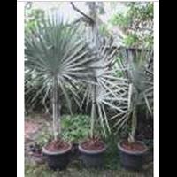 Jual Bibit Palm Bismarkia Silver