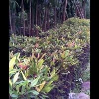 Sell Zanzibar Clove Seeds