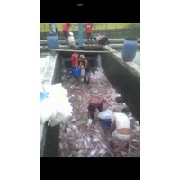 Jual Seafood segar - Ikan Nila Merah Super (Nila Bangkok)