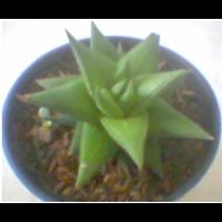 Jual Kaktus Mini