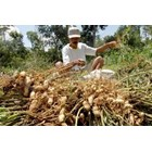 Kacang Tanah Arachis Hypogaea L