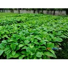 Seedling Jabon 51-70 Cm