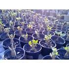 Jual Seedling Usia 3 Hingga 5 Bulan Dan 6 Hingga 9 Bulan