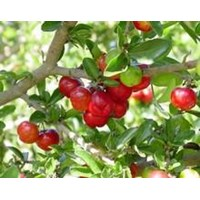 Jual Barbados Cherry