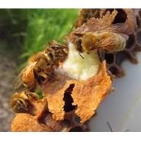 Jual Royal Jelly Asli Langsung Dari Pertenakan Lebah