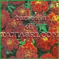 Jual Marigold RED CHERRY
