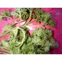 Jual CHINESE PARSLEY