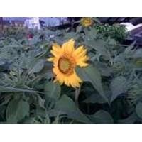 Jual Bunga Matahari