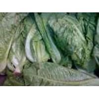 Jual Romaine Lettuce