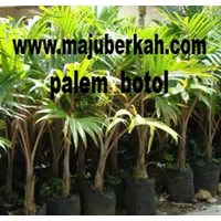 Palm Plant Seed