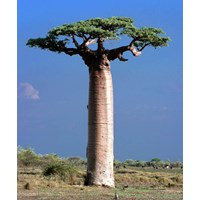 Jual Biji Grandidieri Adansonia( Baobab)