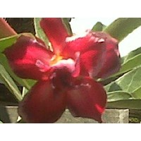 Jual Adenium Bunga Merah Tua