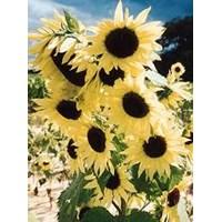 Jual Benih Bunga Tanaman Hias Matahari Moonwalker Sunflower Bunga Musim Panas