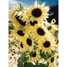 Benih Bunga Tanaman Hias Matahari Moonwalker Sunflower Bunga Musim Panas